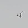 Sabine's Gull (Xema sabini) Half Moon Bay, CA