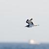 Sabine's Gull (Xema sabini) first year, off San Diego CA