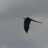 Swallow-tailed Kite (Elanoides forficatus) Apopka NWR, Orange Co., FL