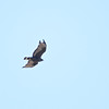 Zone-tailed Hawk (Buteo albanotatus) Salineno TX