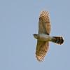 Cooper's Hawk (Accipiter cooperii) Laredo TX