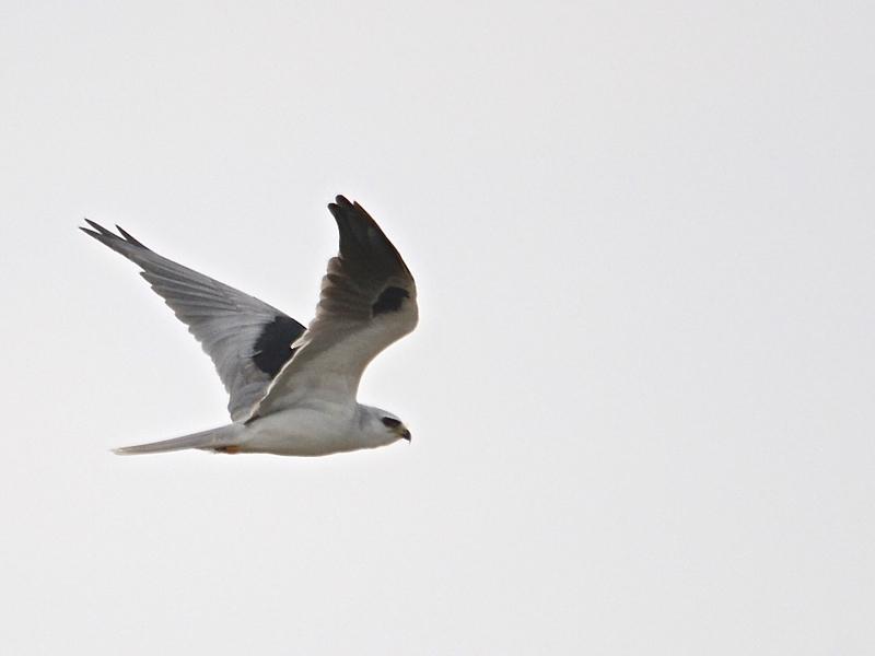White-tailed Kite (Elanus leucurus) Port Isabel TX