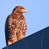 Harris's Hawk (Parabuteo unicinctus) juvenile, McAllen  TX
