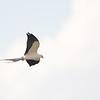 Swallow-tailed Kite (Elanoides forficatus)  Shark Valley, Everglades NP, FL