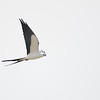 Swallow-tailed Kite (Elanoides forficatus)  Shark Valley, Everglades NP, FL