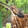 American Bittern, (Botaurus lentiginosus) McKenzie ND