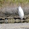Reddish Egret (Egretta rufescens) white morph, Aransas NWR, Rockport TX