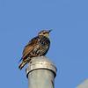 European Starling (Sturnus vulgaris) Mesa AZ