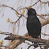 European Starling (Sturnus vulgaris) Bismarck, ND