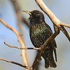 European Starling (Sturnus vulgaris) Scottsdale AZ