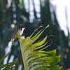 Red-whiskered Bulbul (Pycnonotus jocosus) Kings Creek Village, Kendall FL
