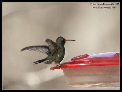 Broad-billed Hummingbird at Paton's Feeders, Patagonia, Arizona, November 2011