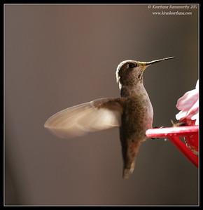 Female Black-chinned Hummingbird at the Madera Kubo feeders, Madera Canyon, Arizona, November 2011