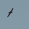 Chimney Swift (Chaetura pelagica) Bismarck ND