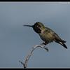 Anna's Hummingbird, La Jolla Cove, San Diego County, California, February 2010