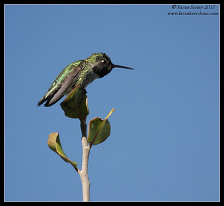 Anna's Hummingbird, La Jolla Cove, San Diego County, California, December 2011
