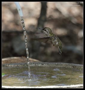 Anna's Hummingbird, The Drip, Cabrillo National Monument, San Diego County, California, June 2011