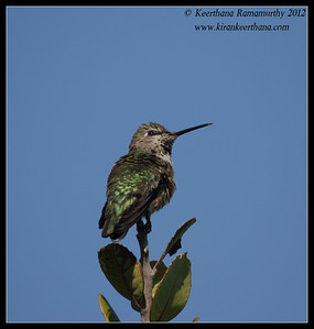 Anna's Hummingbird, La Jolla Cove, San Diego County, California, April 2012