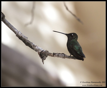 Magnificent Hummingbird at the Madera Kubo feeders, Madera Canyon, Arizona, November 2011