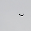 Black Swift (Cypseloides niger) Snowbird UT