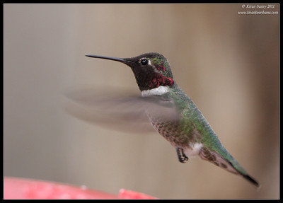 Anna's Hummingbird at Paton's Feeders, Patagonia, Arizona, November 2011