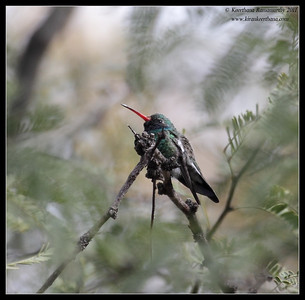Broad-billed Hummingbird at Paton's Feeders, Patagonia, Arizona, November 2011