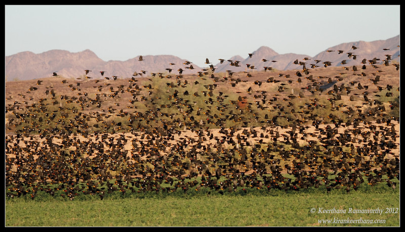 Mixed flock of yellow-headed and red-winged blackbirds, Cibola National Wildlife Refuge, Arizona, November 2012
