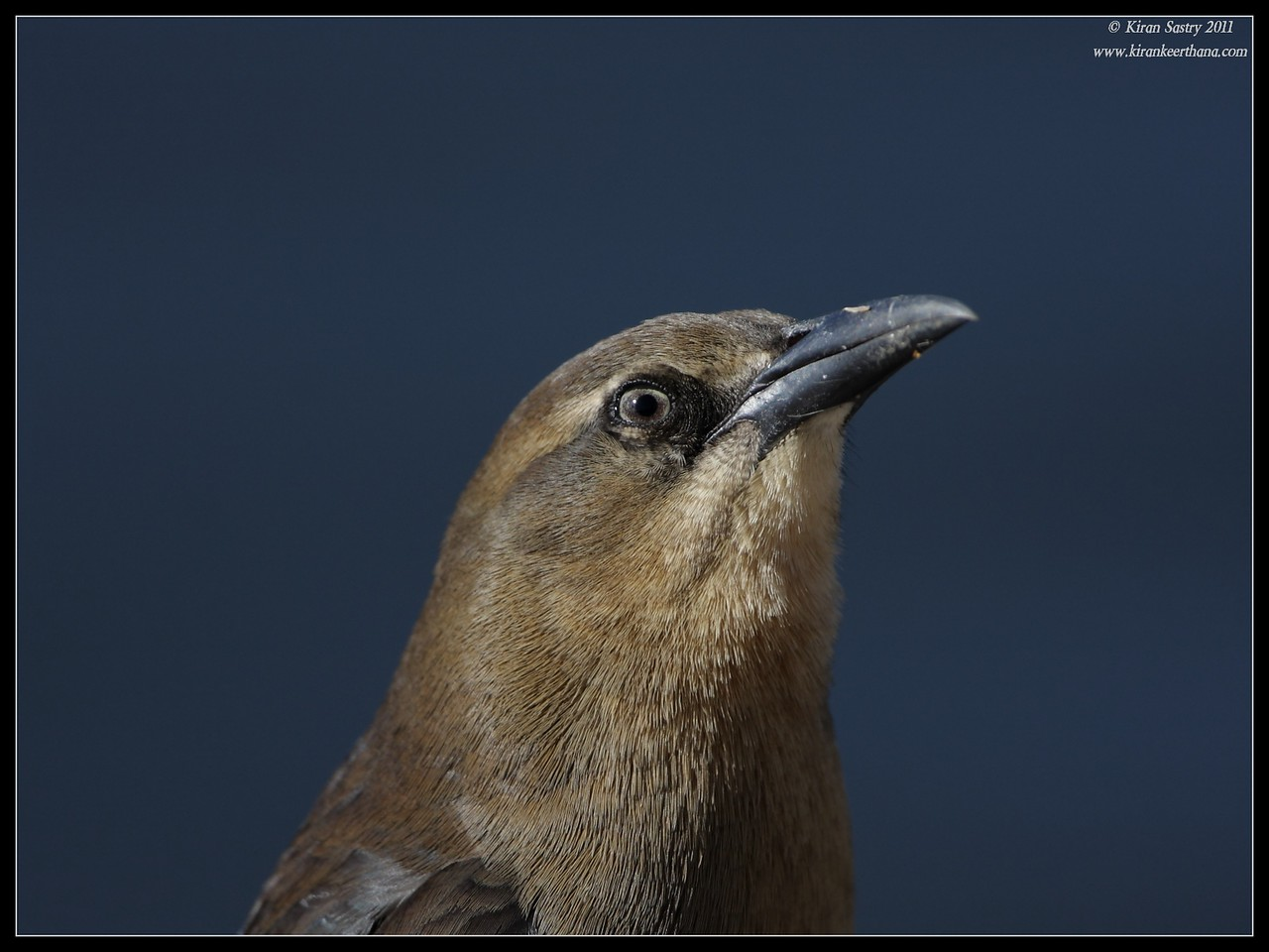 Portrait of a female Great-tailed Grackle, Santee Lakes, San Diego County, California, December 2011