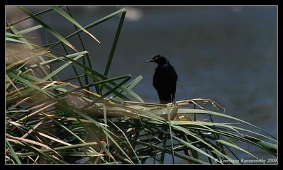 Great-tailed Grackle Habitat, Santee Lakes, San Diego County, California, May 2009