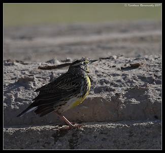 Western Meadowlark, Salton Sea, Imperial County, California, November 2009
