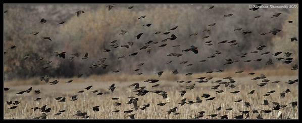 Red-winged Blackbirds in the corn fields, Bosque Del Apache, Socorro, New Mexico, November 2010