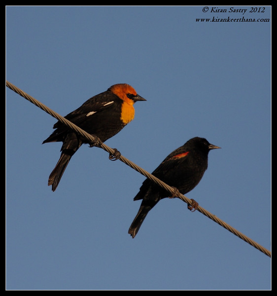 Yellow-headed & Red-winged Blackbirds, Cibola National Wildlife Refuge, Arizona, November 2012