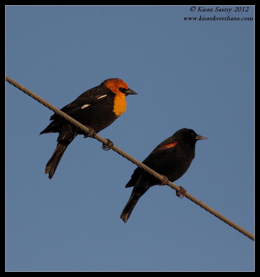 Yellow-headed & Red-winged Blackbirds, Cibola National Wildlife Refuge, Arizona, November 2012