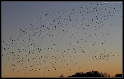 Evening roosting of the red-winged blackbirds, Bosque Del Apache, Socorro, New Mexico, November 2010
