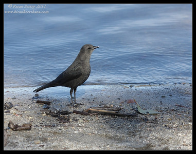 Female Brewer's Blackbird, Lake Murray, San Diego County, California, December 2011