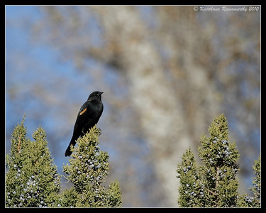 Red-winged Blackbird at the visitor center, Bosque Del Apache, Socorro, New Mexico, November 2010