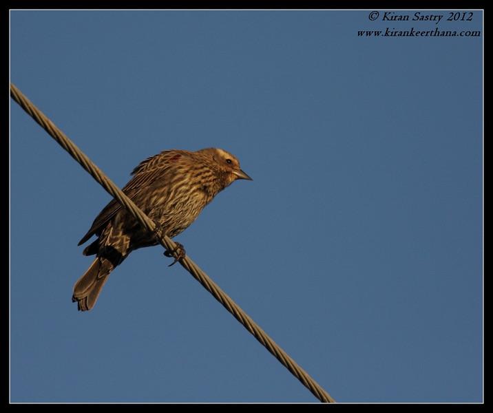 Red-winged Blackbird Female, Cibola National Wildlife Refuge, Arizona, November 2012