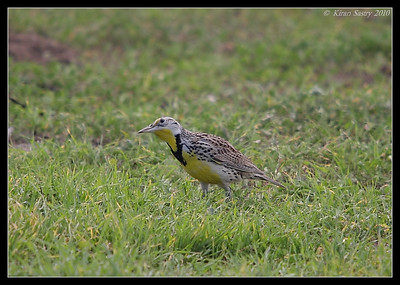 Western Meadowlark, Robb Field, San Diego River, San Diego County, California, January 2010
