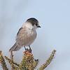 Gray Jay (Perisoreus canadensis) Sax-Zim bog, St. Louis Co., MN