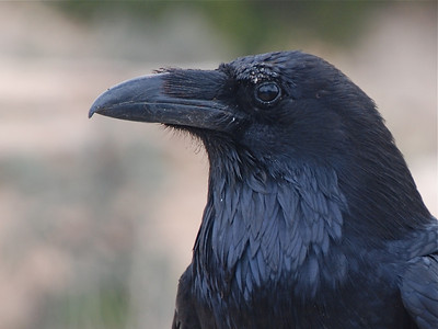 Jays, Crows, Ravens and allies