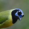 Green Jay (Cyanocorax yncas) Santa Ana NWR, McAllen TX