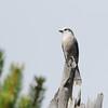 Gray Jay (Perisoreus canadensis) Yellowstone NP, WY
