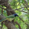 Green Jay (Cyanocorax yncas) Benston SP, TX