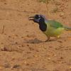 Green Jay (Cyanocorax yncas) Raymondville, TX
