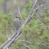 Pinyon Jay (Gymnorhinus cyanocephalus) Riudoso NM