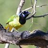 Green Jay (Cyanocorax yncas) Salineno TX