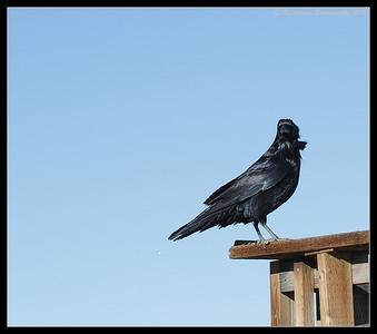 American Crow, Bosque Del Apache, Socorro, New Mexico, November 2010