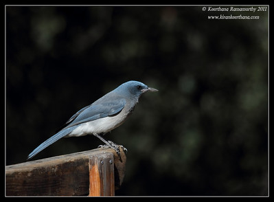 Mexican Jay at the Santa Rita Lodge, Madera Canyon, Arizona, November 2011