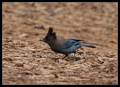 Steller's Jay, William Heise County Park, Julian, San Diego County, California, March 2010