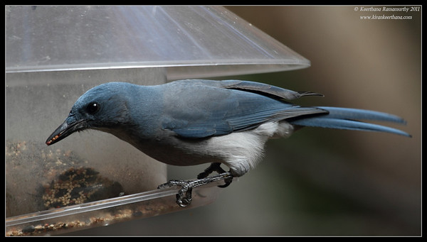 Mexican Jay at the Madera Kubo feeders, Madera Canyon, Arizona, November 2011